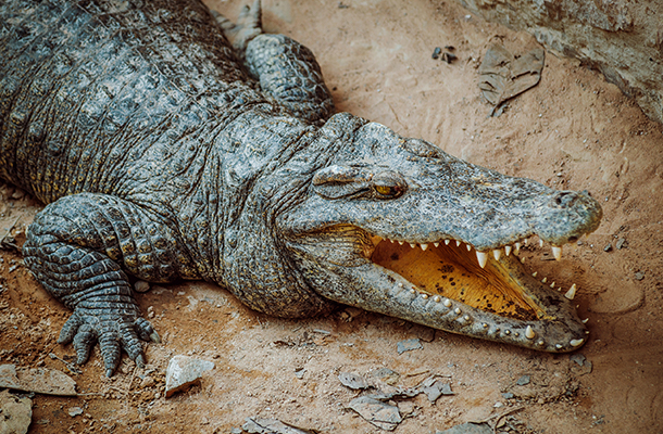 Aussie Crocs & Sharks: Tips to Remain Alive