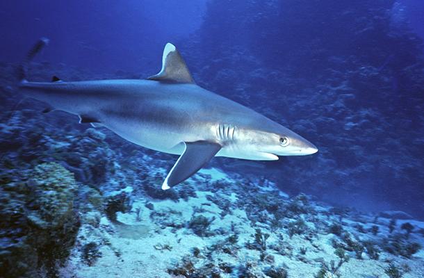 White pointer shark