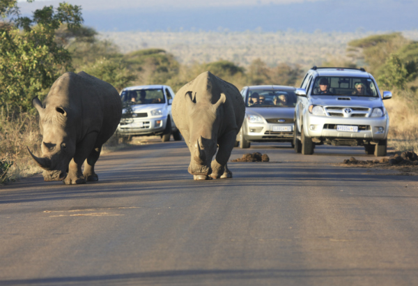 Rhinos on the road in South Africa